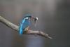 ijsvogel 2-7598.jpg