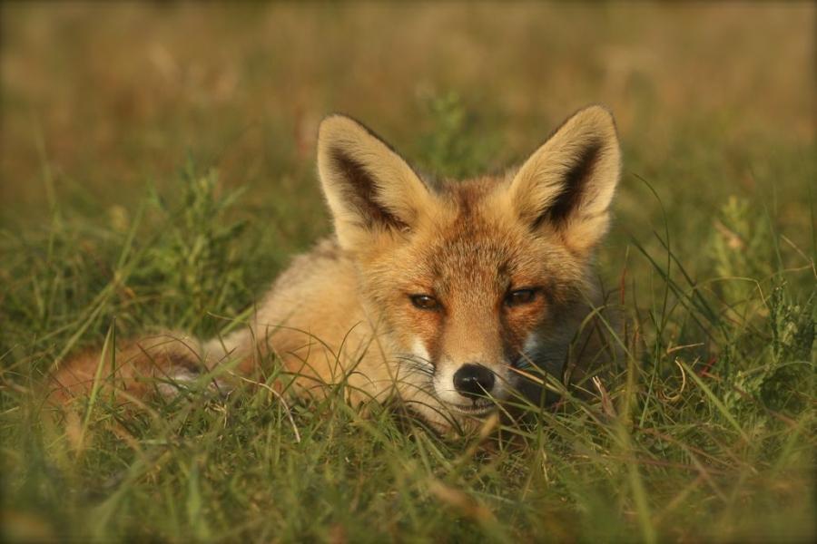 kleine vos gras-5065.jpg
