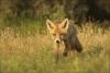 jonge vos9-5054.jpg